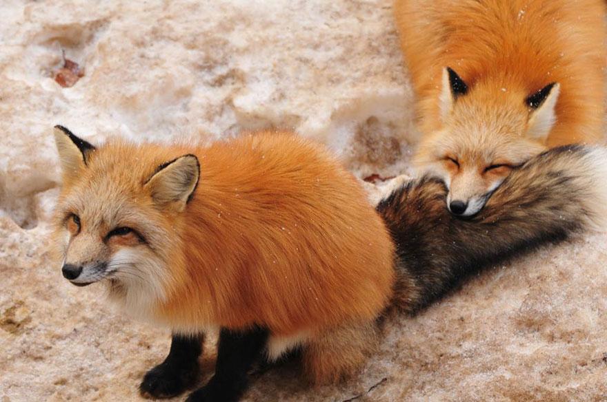 zao-fox-village-japan-26